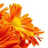 Orange chrysanthemum flowers, no stem or leaves, isolated royalty free stock photography