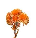 Orange Chrysanthemum flowers, mums or chrysanths, genus Chrysanthemum in the family Asteraceae Stock Photo