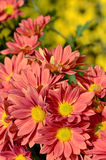Orange Chrysanthemum n closed-up. royalty free stock photo