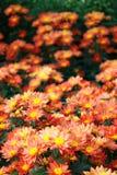 Orange chrysanthemum Royalty Free Stock Image