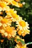 Orange chrysanthemum Royalty Free Stock Photos