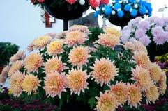 Orange chrysanthemum Stock Photography