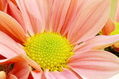 Orange Chrysanthemum. Stock Photography