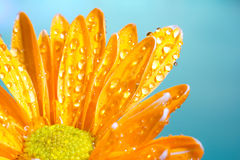 Orange chrysanthemum with water droplets on a blue. Orange chrysanthemum flower covered with water droplets isolated on a blue background royalty free stock photos