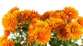 Orange chrysanthemum Stock Photo