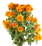 Orange chrysanthemum Royalty Free Stock Photography