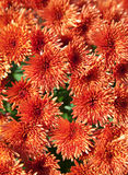 orange chrysanthemums royaltyfri bild