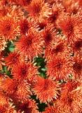 Orange Chrysanthemums Royalty Free Stock Image