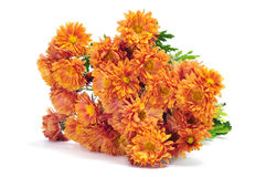 Orange chrysanthemums Stock Image