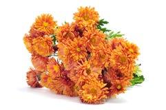 Orange chrysanthemums Stock Image