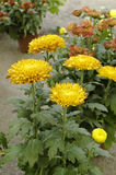 Orange chrysanthemums Royalty Free Stock Photo