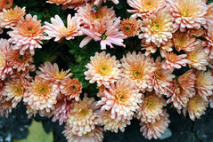 orange chrysanthemums royaltyfria bilder