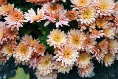 orange chrysanthemums Royaltyfria Bilder