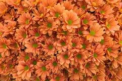 Orange chrysanthemums. As natural background Stock Photo