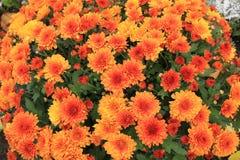 Orange Chrysanthemums Royalty Free Stock Images