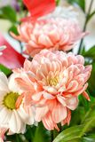Orange chrysanthemums close-up and daisy flower. Beautiful bouquet of flowers Stock Photos