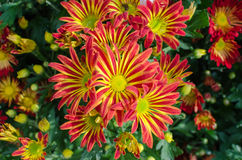Orange chrysanthemums  flower Stock Photography