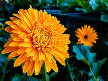 Orange chrysanthemums flower Stock Images