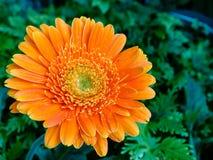 Orange chrysanthemums flower Royalty Free Stock Images