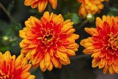 Orange chrysanthemums in the garden. Orange chrysanthemums in nature. Close-up Royalty Free Stock Photos