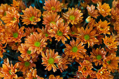 Orange Chrysanthemums. Group of Orange Chrysanthemums flower Stock Photo