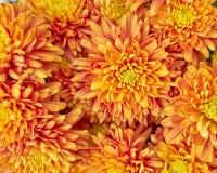 Orange chrysanthemums, natural floral background Stock Image