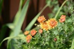 Orange chrysanthemums in a summer garden Royalty Free Stock Photography