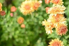 Orange chrysanthemums in a summer garden Royalty Free Stock Image