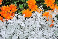 Orange chrysanthemun flower with sliver leaves Stock Photography