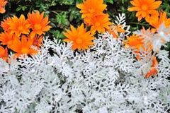 Orange chrysanthemun flower with sliver leaves Stock Photography