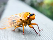 Orange Cicada royalty free stock photo