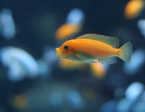 Orange Cichlid Stock Photography