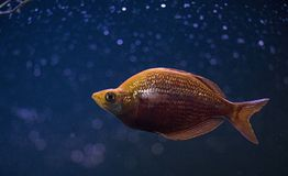 Orange Cichlid Fish in Middle of Blue Water stock photography