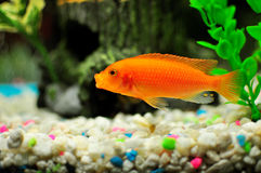 Orange cichlid inside a freshwater tank Stock Photography