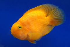 Orange Cichlid parrot Royalty Free Stock Photos