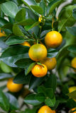 Orange (Citrus Fortunella) tree Stock Photography