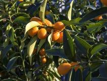 Orange citrus fruits on a Kumquat tree. Royalty Free Stock Photography