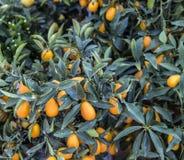 Orange citrus fruits on a Kumquat tree. Royalty Free Stock Image