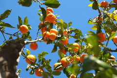 Orange citrus fruits tree Royalty Free Stock Photography