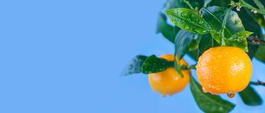 Orange citrus mandarin fruit branch with water drops on green leaves. Summer time garden photo. Blue sky background. Sunny day. Copy space, closeup photo Royalty Free Stock Images