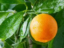 Orange on a citrus tree. Royalty Free Stock Photography