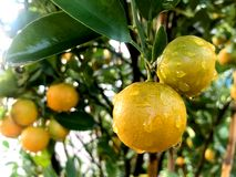 Orange citrusa Japonica Thunb Arkivbilder