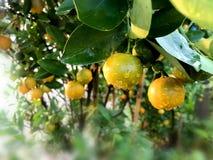 Orange citrusa Japonica Thunb Fotografering för Bildbyråer