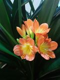 Orange clivia. Flower in a greenhouse Royalty Free Stock Images