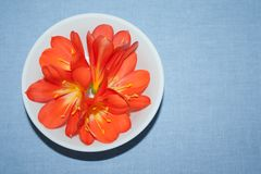 Orange clivia flower on a neutral background. stock photography