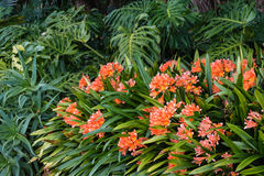 Orange clivia flowers growing in woodland Stock Photography