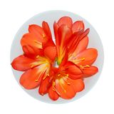 Orange clivia flowers royalty free stock images
