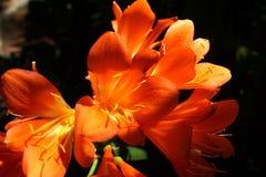 Orange clivia i Pretoria, Sydafrika royaltyfria bilder