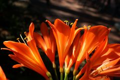 Orange clivia i Pretoria, Sydafrika Royaltyfri Bild