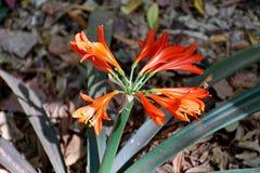 Orange clivia i Pretoria, Sydafrika arkivfoton